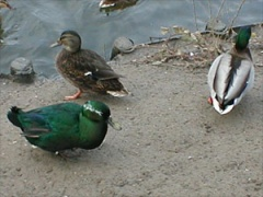 green duck, Cayuga or Black East Indies