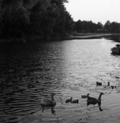 geese family bw