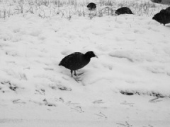 coot in snow