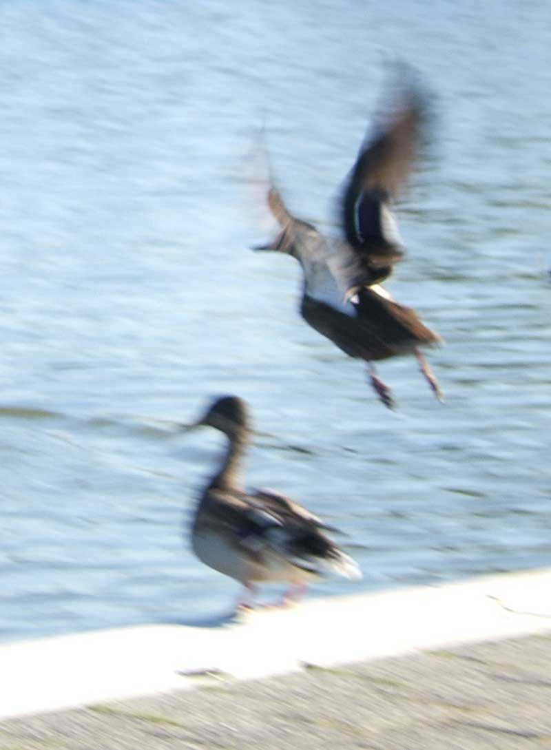 blurry ducks