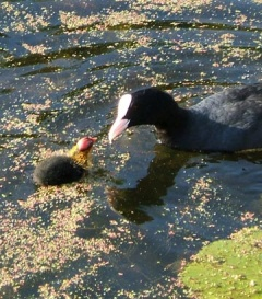 coot parent and child