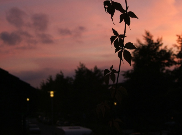 sunset leaves