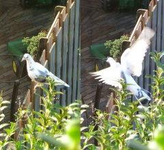 dove on fence