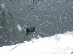 coot and snow