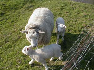 /photos/020404_sheep.jpg