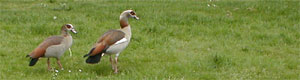 birds on grass, Egyptian geese